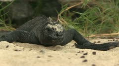 Marine Iguana - sunbathing in sand - stock footage