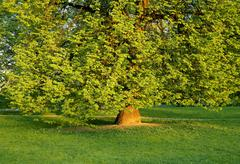 old tree with green foliage - stock photo