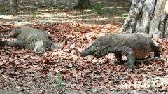 Komodo dragon couple Stock Footage