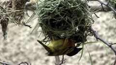 Bird building a nest - stock footage