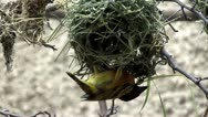 Stock Video Footage of Bird building a nest