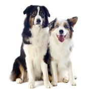 australian shepherds - stock photo