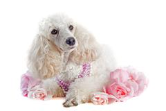 poodle with roses - stock photo
