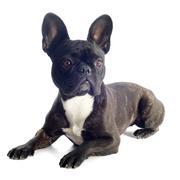 Ranskanbulldoggi Kuvituskuvat