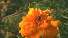 Tagetes Stock Footage