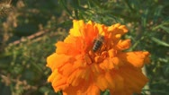 Stock Video Footage of Tagetes