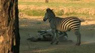 Two Zebra's Play Stock Footage