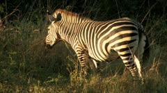 Zebra eat foliage at Dusk Stock Footage