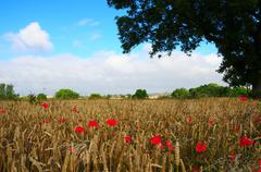 Poppy cornfied - stock photo