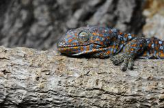 Tokay gecko (Gekko gecko) Stock Photos