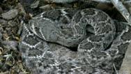 Stock Video Footage of Rattlesnake Warning