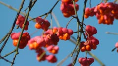 Spindle Tree Stock Footage