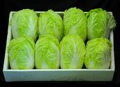 Stock Photo of Lettuces