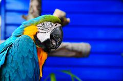 Blue pet parrott - stock photo