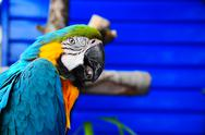 Stock Photo of Blue pet parrott