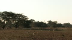 Baboons Cross Field at Dusk Stock Footage
