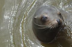Stock Photo of Swimming Sea Lion