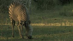 A Zebra Eats Stock Footage