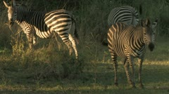 Zebra eat foliage at Dusk Stock Footage