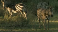 Stock Video Footage of Zebra eat foliage at Dusk