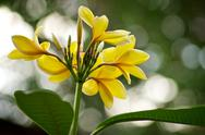 Yellow plumeria frangipani Stock Photos