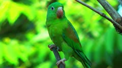 costa rica parrot close up sitting on a branch in a tree - stock footage