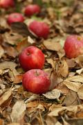 Fallen apples and leaves   - stock photo