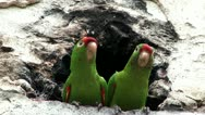 Couple of parrots sitting in front of a cavern Stock Footage