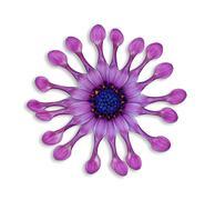 African daisy flower Stock Photos