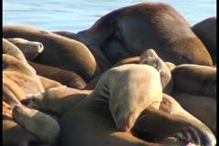 Sea lions V8 - NTSC Stock Footage