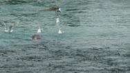 Stock Video Footage of Sea Lion Rends Flesh of Salmon and Gulls Converge for Remains