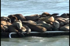 Sea lions V4 - NTSC Stock Footage