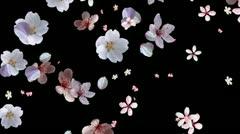Cherry Blossom Petals Falling Stock Footage