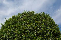 tree crown - stock photo