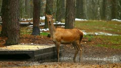 Young deer in a forest. escapes. Stock Footage