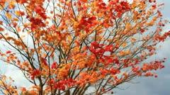 Autumn red maple tree. - stock footage