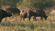Water Buffalo in the Bush Stock Footage