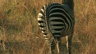 Zebra Walks into the Grass Stock Footage