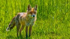 Red fox is standing on a meadow Stock Photos