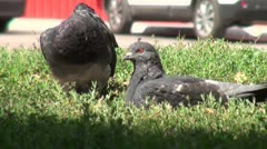 Two doves love games in the street on green grass Stock Footage