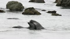 Elephant Seals in the Water Stock Footage