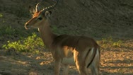 Antelope in the Grass Stock Footage