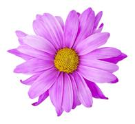 Purple flower, includes clipping path Stock Photos