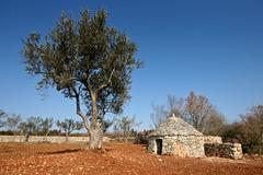 Olive tree and the Istrian shelter kazun Stock Photos