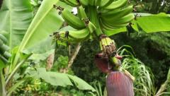 Rising Crane Banana Flower and Fruit, Plantation, Hawaii Stock Footage