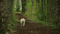White wolf running in a birch tree forest Stock Footage