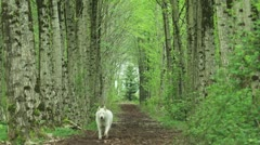 White wolf running in a birch forest Stock Footage
