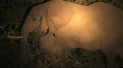 Elephant Forages At Night Stock Footage