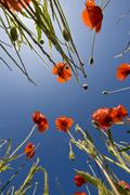 Beautiful red poppies and the blue sky - stock photo