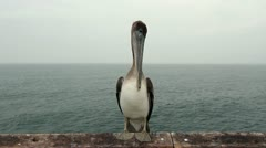 Portrait of a Pelican Stock Footage